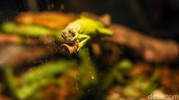 Pengunjung juga dapat melihat iguana di pusat perbelanjaan tersebut.