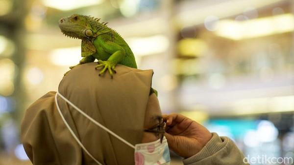 Bila penasaran, pengunjung juga dapat menyentuh maupun bermain dengan iguana itu.
