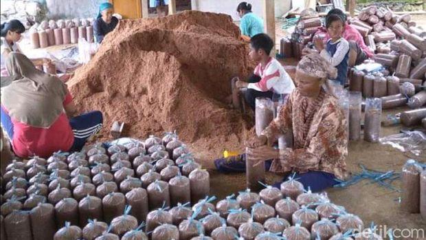 Budi Daya Jamur Tiram di Sukabumi
