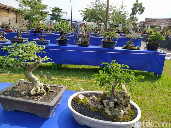 Adapun bonsai yang dipamerkan sebanyak 286 jenis, meliputi kelas prospek dan lanjutan.