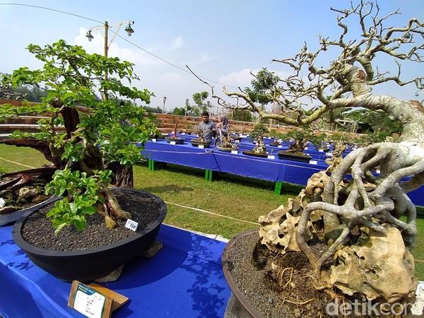 Perkembangan bonsai di Magelang sudah terlihat sejak lima tahun terakhir dengan peran media sosial.