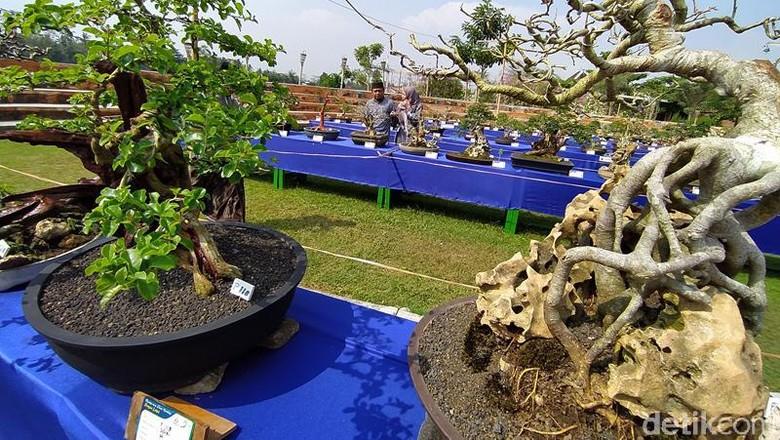 Kontes Bonsai Songo Doyo