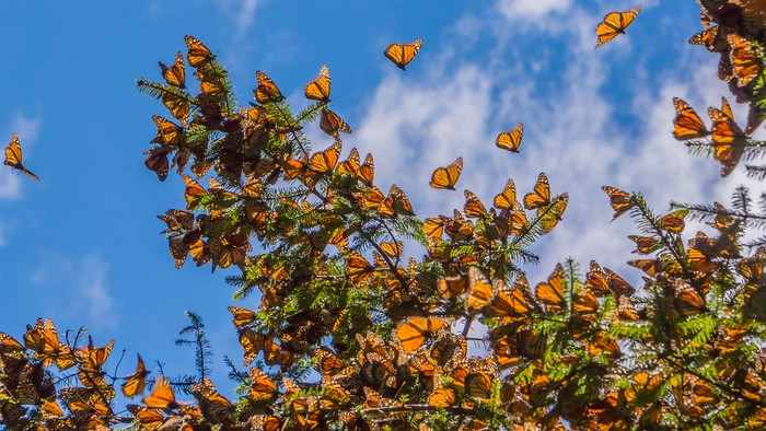 Danaus plexippus atau kupu-kupu raja di Meksiko