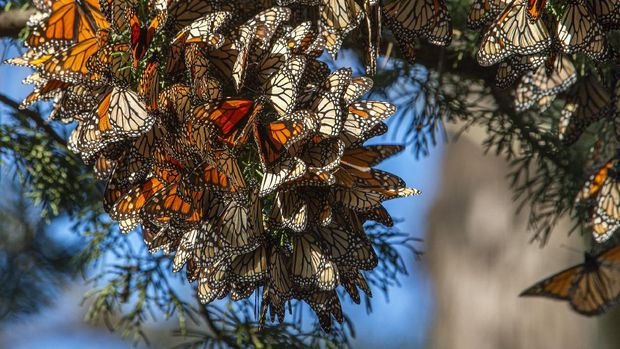 Danaus plexippus atau kupu-kupu raja hidup berkoloni di Santa Cruz, AS