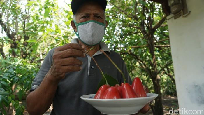 Karmono, Pensiunan Guru SD yang Jadi Pionir Petani Jambu Air Merah Delima