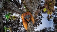 Potret Ilusi Orangutan Jadi Jawara Kontes Foto Dunia