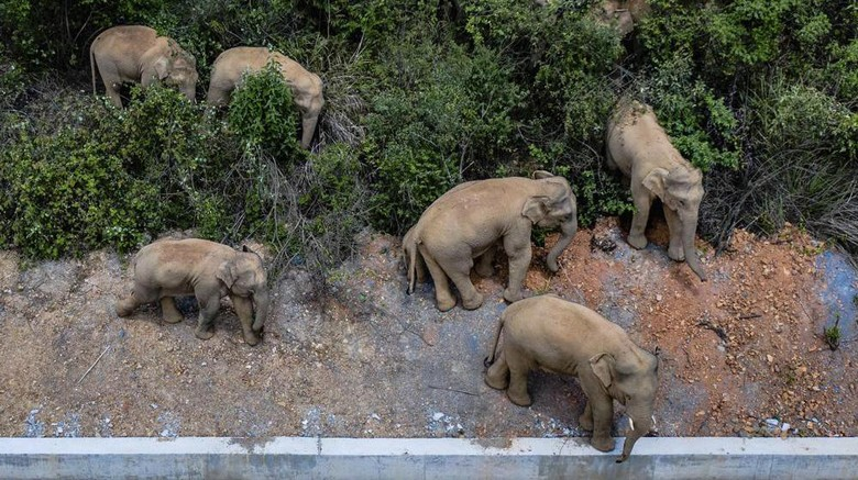 FILE - In this aerial photo file photo taken on May 28, 2021, and released by Chinas Xinhua News Agency, a herd of wild Asian elephants stands in Eshan county in southwestern Chinas Yunnan Province. A herd of 15 wild elephants that walked 500 kilometers (300 miles) from a nature reserve in Chinas mountain southwest were approaching the major city of Kunming on Wednesday, June 2, as authorities rushed to try to keep them out of populated areas. (Hu Chao/Xinhua via AP, File)