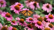 Perempuan Ini Buntuti Migrasi Kupu-kupu Raja Hingga 16 Ribu Km dengan Bersepeda