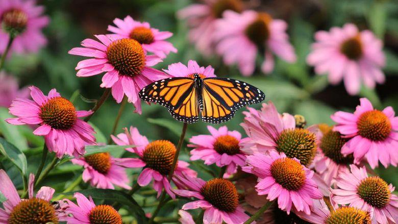 Danaus plexippus atau kupu-kupu raja