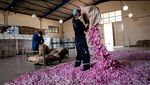 Menengok Panen Mawar di Turki