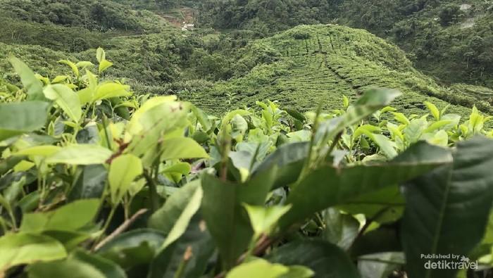 Sejauh mata memandang, hamparan daun teh memesona. Foto oleh Nasrullah.
