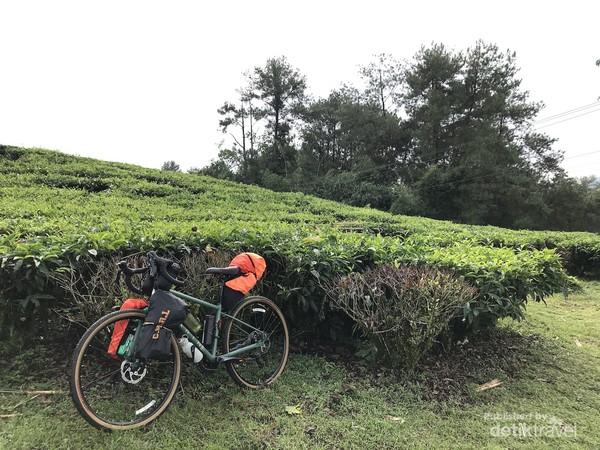 Selain bersepeda bersama, ada juga yang menyempatkan diri untuk berkemah di area perkebunan. Foto oleh Nasrullah.