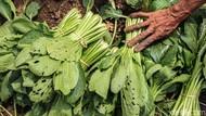 Waduh! Hama Ini Bikin Sayuran Turun Harga