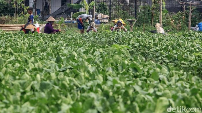 Hama kutu daun menyerang tanaman sayur milik petani di Neglasari, Kota Tangerang, Banten. Hama ini membuat nilai sayuran berkurang.