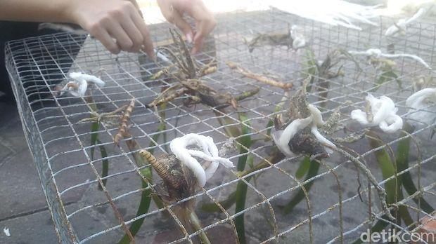 Pelepasan tukik dan penyu serta penanaman lamun di Pulau Pramuka, Kepulauan Seribu, Jumat (28/5)