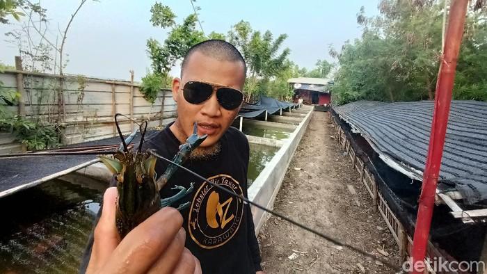 Pemuda Karawang Budi Daya Lobster Air Tawar