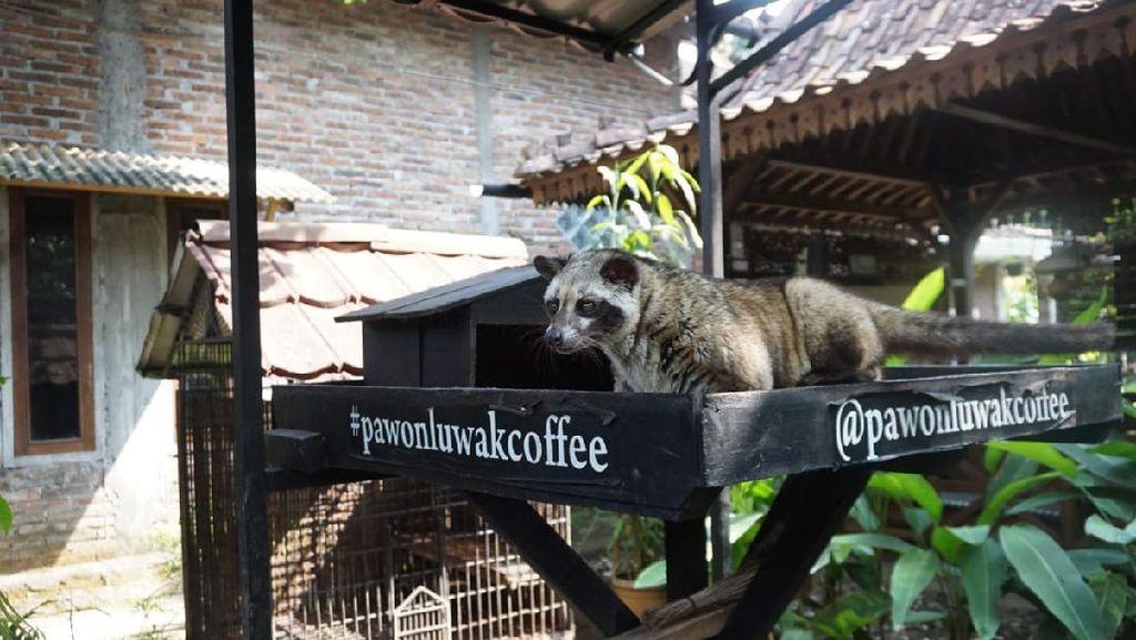 Rahasia di Balik Kualitas Rasa Pawon Luwak Coffee Asal Magelang