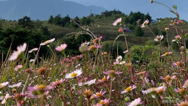 Bunga Daisy punya kelopak berwarna putih dan merah muda