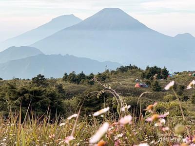Fakta Bunga Daisy yang Banyak Tersebar di Puncak Gunung Prau