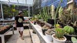 Pandemi Bikin Berkah Penjual Kaktus Kulon Progo