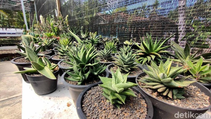 Suasana tempat budidaya kaktus milik Joko Setiyono di Dusun VIII, Kalurahan Bojong, Kapanewon Panjatan, Kulon Progo, Senin (7/6/2021).