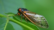 Cicada Jadi Makanan Masa Depan, Peneliti Sebut Risiko Konsumsinya