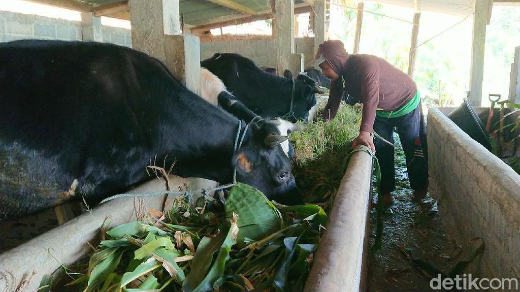 Usai Temuan Antraks, Sapi-sapi di Sidomulyo Tulungagung Divaksin