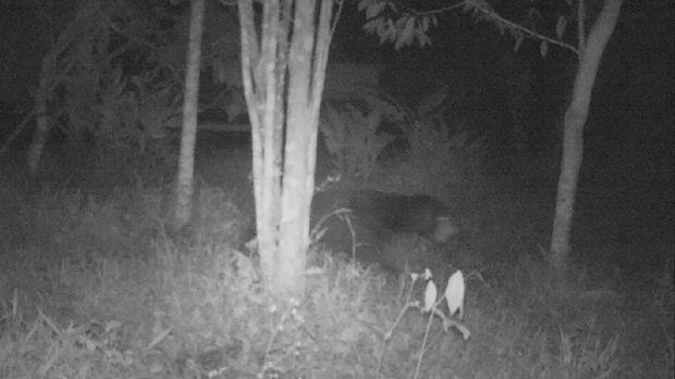 Terungkap sudah makhluk misterius yang membuat heboh masyarakat sejumlah daerah di Kabupaten Agam usai BKSDA memantau camera trap (dok BKSDA Agam)