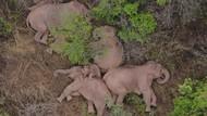 Kawanan Gajah di China Tidur Nyenyak Usai Mengembara 500 Km