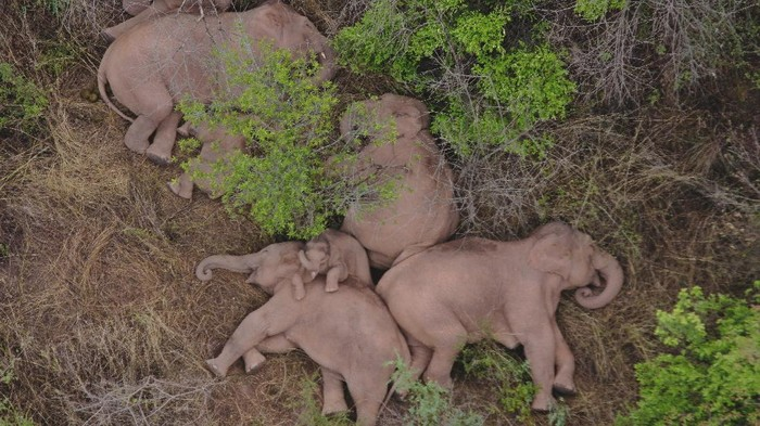In this photo taken June 4, 2021, and released by the Yunnan Forest Fire Brigade, a migrating herd of elephants graze near Shuanghe Township, Jinning District of Kunming city in southwestern China's Yunnan Province. Already famous at home, China's wandering elephants are now becoming international stars. Major global media, including satellite news stations, news papers and wire services are chronicling the herd's more-than year-long, 500 kilometer (300 mile) trek from their home in a wildlife reserve in mountainous southwest Yunnan province to the outskirts of the provincial capital of Kunming. (Yunnan Forest Fire Brigade via AP)