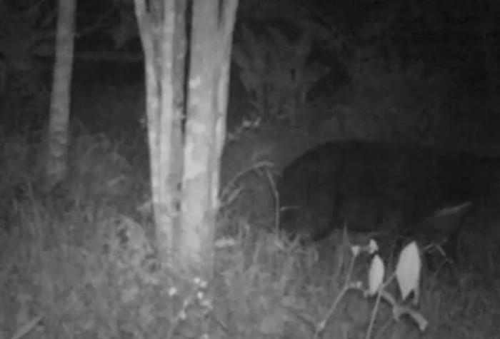 Penampakan makhluk misterius di Agam, Sumbar, ternyata beruang madu.