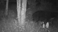 Mengenal Makhluk Hitam Misterius di Agam yang Ternyata Beruang Madu