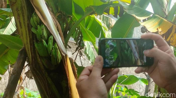 Warga Majalengka dihebohkan buah pisang yang tumbuh di batang