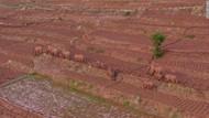 Misteri Sekelompok Gajah Liar Mengembara di China