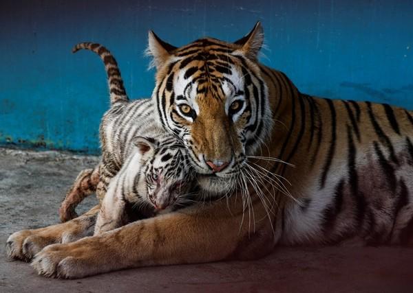 Yanek bersaudara menunjukkan perilaku agresif yang khas, meniru ibu mereka saat mereka saling menyerang. (AFP/YAMIL LAGE)