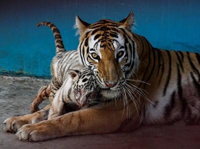 Polah Menggemaskan Yanek, Anakan Harimau Langka di Kebun Binatang Kuba