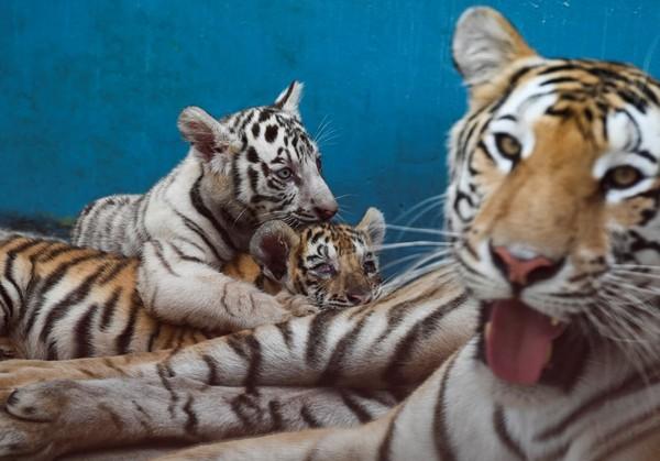 Yanek lahir bersamaan dengan tiga harimau lain, namun tiga saudaranya bukanlah harimau putih. (AFP/YAMIL LAGE)
