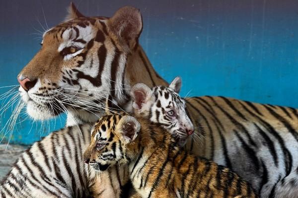 Yanek lahir dari sesama induk harimau Bengal, Ibunya Fiona dan ayahnya Garfield. (AFP/YAMIL LAGE)