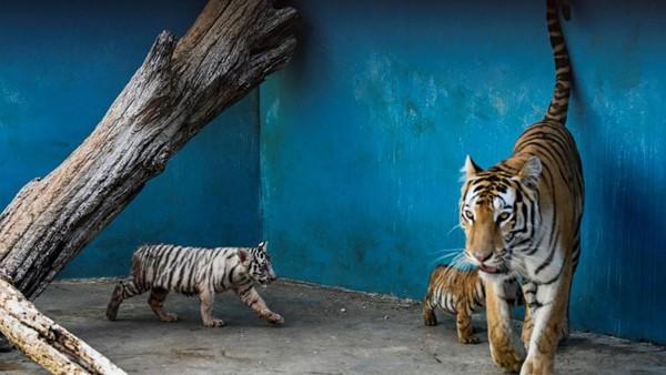 Harimau Bengal putih seperti Yanek tidak diketahui keberadaannya di alam liar, namun bisa ditemui di penangkaran dengan jumlah cuma 20 ekor. (AFP/YAMIL LAGE)