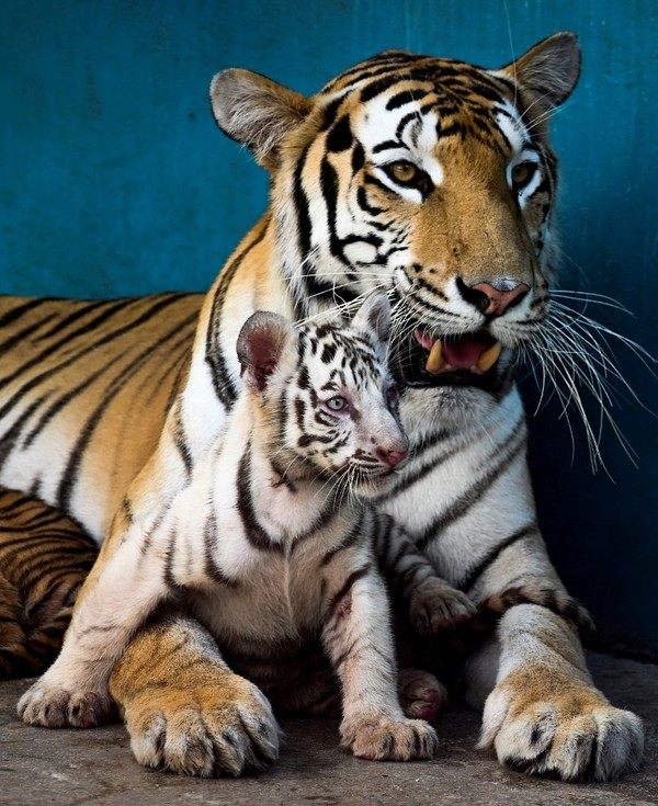 Harimau Bengal putih, Yanek, itu bukanlah harimau albino, namun dia mengalami kelainan genetik. (AFP/YAMIL LAGE)