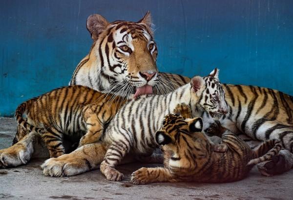 Di kebun binatang, Fiona mendapatkan jatah 10 kilogram (22 pon) daging per hari, sementara anak-anaknya, yang masing-masing sudah memiliki berat antara delapan dan 11 kilogram, masing-masing mendapatkan dua kilogram daging. (AFP/YAMIL LAGE)