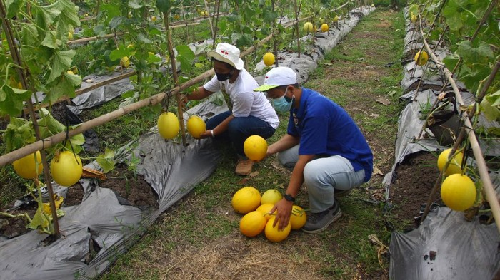 Anggota karang taruna Desa Teluknaga panen raya hasil pertanian sayur dan buah yang ditanamnya saat masa pandemi. Hal itu juga dilakukan guna menciptakan lapangan pekerjaan ditengah sulitnya masa pandemi COVID-19.
