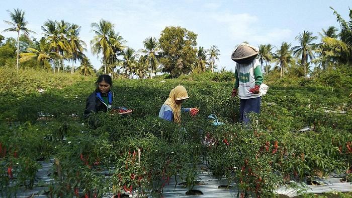 Sejumlah petani memanen cabai di lahan pertanian cabai di Dusun 1, Kalurahan Garongan, Kapanewon Panjatan, Kulon Progo
