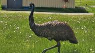 Saat Burung Emu Menebar Teror di Bandara Kanada