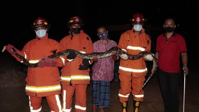 Pemadam Kebakaran Trenggalek mengamankan seekor ular piton atau sanca kembang sepanjang 2,5 meter. Ular itu ditangkap dari kandang ternak milik warga.