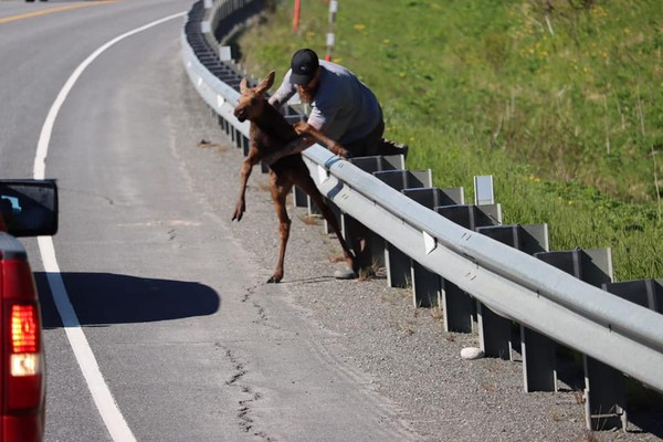 Menurut KTUU, tindakan Tate berbahaya karena induk rusa bisa saja menyerangnya. Namun, Tate adalah orang lapangan dan telah tinggal di Alaska sejak 2005. Dia tahu apa yang seharusnya dilakukan dan tidak.