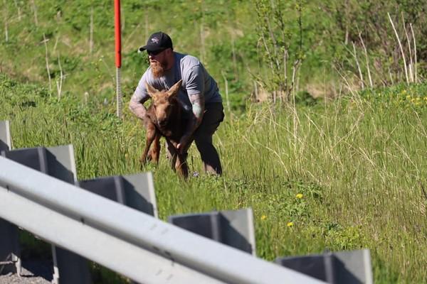 Tentu berhati mulia orang-orang yang punya keberanian menolong hewan di tenah jalan. Seperti pria bernama Joe Tate yang menolong anak moose ini. Moose atau rusa besar merupakan salah satu spesies rusa yang ada di Amerika Utara. Tingginya bisa 2 meter lho. Seseorang memposting tindakan Tate ketika detik-detik dia menolong bayi rusa melompati pagar pembatas jalan. Disebutkan peristiwa in iterjadi di dekat Clam Gulch, di Semenanjung Kenai.