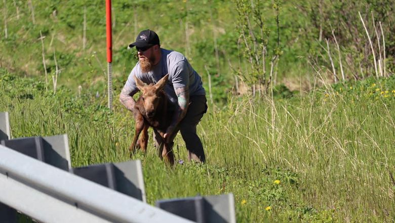 Seorang pria menolong anak moose di Alaska