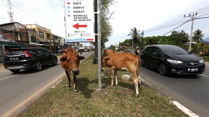 Sejumlah sapi peliharaan warga berkeliaran di ruas jalan Aceh Besar. Kehadiran hewan itu membuat para pengguna jalan harus hati-hati saat lintasi jalan tersebut