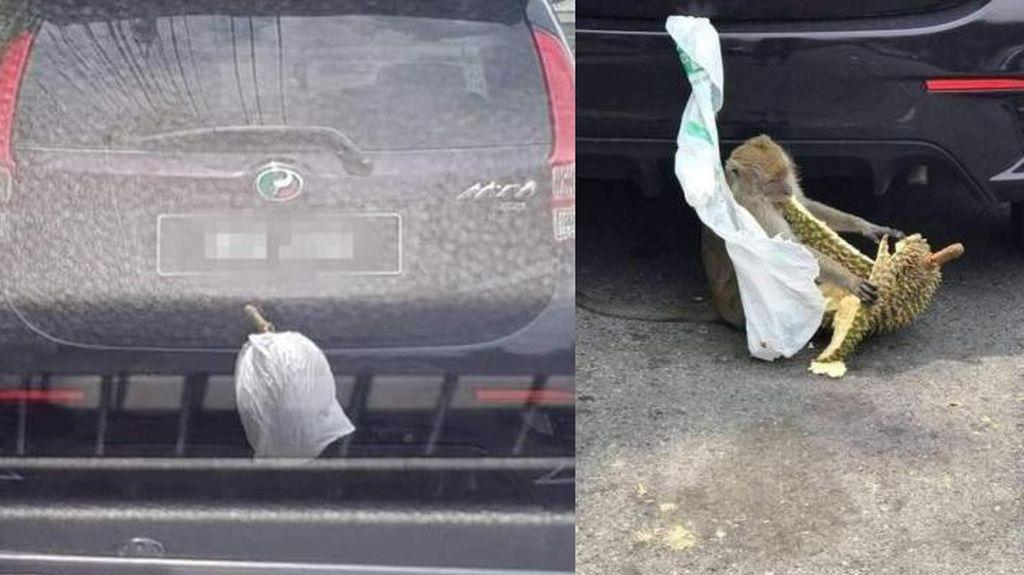 Lahap Makan Durian yang Dicuri dari Mobil, Monyet Ini Menyita Perhatian